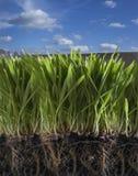 gräsfjäder Royaltyfria Foton