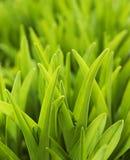 gräsfjäder Royaltyfria Bilder
