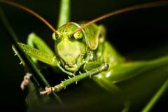 gräsgräshoppanederlag Arkivfoto