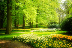 Gräsgräsmatta med påskliljor i vårträdgård Arkivbild