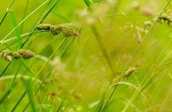 Gräsgräsplan kärnar ur soliga bakgrundsväxter Arkivfoton