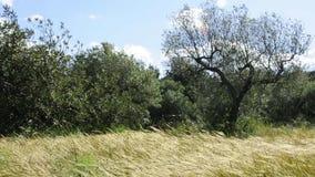 Gräsgrova spikar och olivträd som är rörda vid vinden stock video