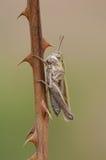 gräshoppaäng arkivbild