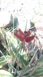 Gräshoppa royaltyfria bilder