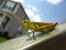 gräshoppa Arkivbilder