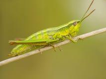 gräshoppa 2 Arkivfoton