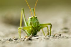 gräshoppa 2 royaltyfri fotografi