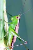 gräshoppa Arkivfoton
