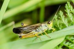 gräshoppa Royaltyfri Bild