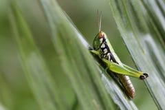 Gräshoppa Royaltyfri Fotografi