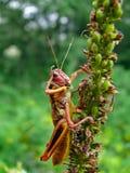 gräshoppa 3 Arkivfoton