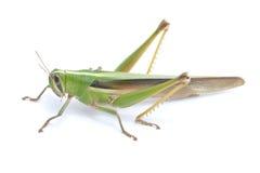 Gräshoppa. Royaltyfria Foton