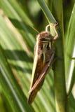 gräshoppa Arkivbild