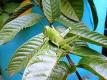 Gräshoppa Royaltyfri Foto