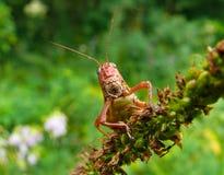 gräshoppa 5 Royaltyfri Fotografi