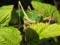 gräshoppa 5 Fotografering för Bildbyråer