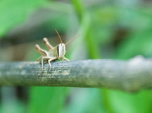 Gräshoppa Fotografering för Bildbyråer