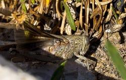 Gräshoppa bland växter Royaltyfri Fotografi