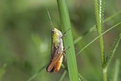 Gräshoppa (Chorthippus paralellus) royaltyfri foto