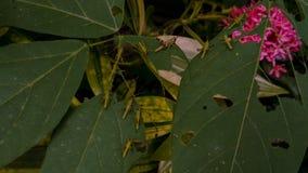 Gräshoppa eller gräshoppa på gröna sidor arkivbilder