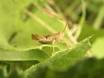 Gräshoppa för fotografi för naturkrypmakro royaltyfria bilder