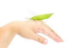 gräshoppa förestående som isoleras på vit bakgrund Royaltyfria Foton