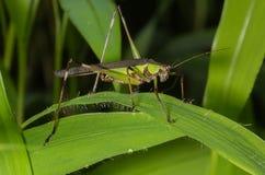 Gräshoppa från Indien Royaltyfri Foto