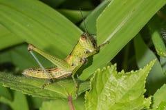 Gräshoppa från Indien Fotografering för Bildbyråer