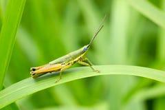 Gräshoppa framme av naturlig bakgrund Arkivfoto