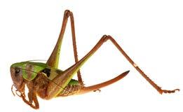 Gräshoppa framme på vit bakgrund royaltyfri fotografi