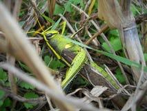 Gräshoppa/gräshoppa Royaltyfria Bilder