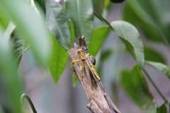 Gräshoppa Gräshoppor har haft ett långt förhållande med människor Arkivbild