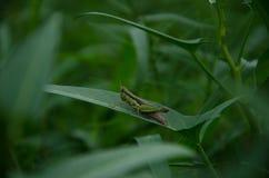 Gräshoppa grön bakgrund, gräs Arkivfoto