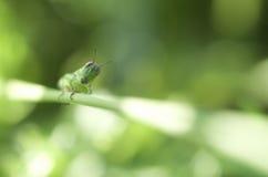 Gräshoppa i en defocused bakgrund Arkivfoton