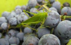 Gräshoppa i en hink av druvan Arkivfoton