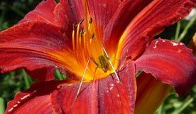 Gräshoppa i en röd lilja Arkivfoto