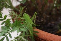 Gräshoppa i kruka Fotografering för Bildbyråer