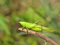 Gräshoppa i natur Royaltyfria Foton