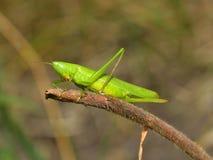 Gräshoppa i natur Arkivfoton
