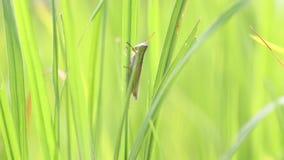 Gräshoppa i risfältet lager videofilmer