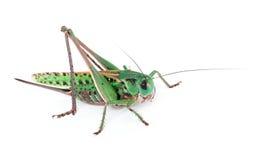 gräshoppa isolerad white Fotografering för Bildbyråer