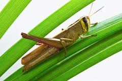 gräshoppa isolerad white Royaltyfri Bild