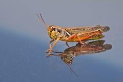 gräshoppa lagd benen på ryggen red Arkivfoto