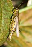 gräshoppa macro2 Fotografering för Bildbyråer
