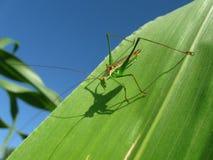 Gräshoppa någonstans på en okänd planet Fotografering för Bildbyråer