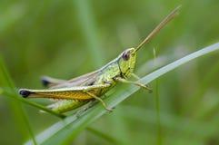 Gräshoppa på ängnärbild royaltyfria foton