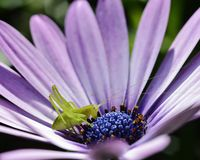 Gräshoppa på blomma arkivbilder