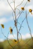 Gräshoppa på blomma Royaltyfri Bild