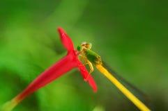 Gräshoppa på den röda blomman Fotografering för Bildbyråer