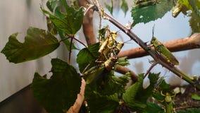 Gräshoppa på en filial Royaltyfria Bilder